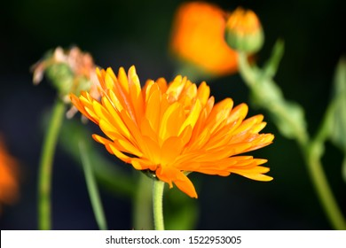 Marigold (lat./biol. calendula officinalis), field of flowers in late-summer sun