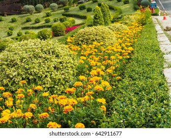 Marigold line in the garden beside the stress
