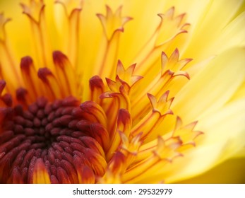 Marigold macro