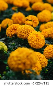 Marigold in the nature