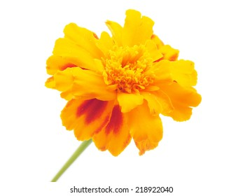 marigold on white background