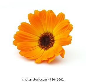 Marigold on a white background