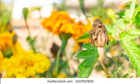 Marigold seed pod dried up on the flower head after being pollinated and ready for harvesting and seed saving for companion planting. Brown, dried up flower at the end of its lifecycle.