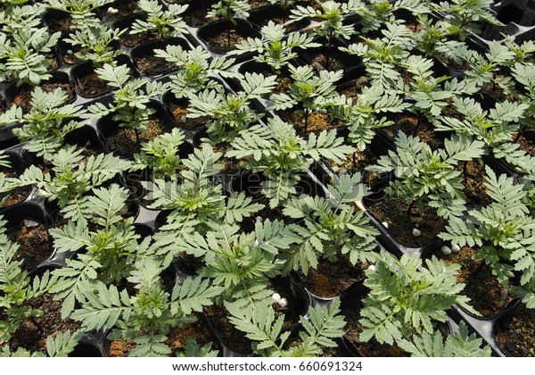 Marigold Seedlings Stock Photo Edit Now 660691324