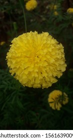 Marigold Seeds and Plants. Glorious marigolds flower in the colors of the sun: brilliant yellow, bold orange, bright white, rich gold and warm red tones.