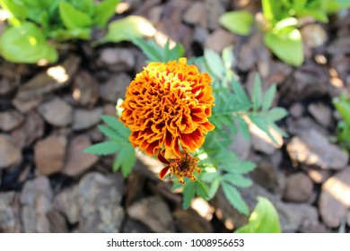 Marigold in Shadow and Light