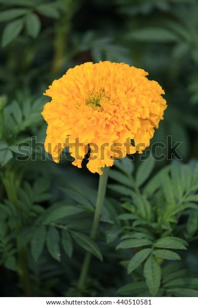 Marigold - Yellow flower