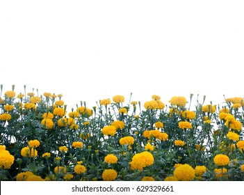 Marigold Yellow flower, Colorful of marigolds on the plantation, white background