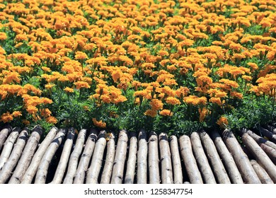 Marigold Yellow Flower field in the garden