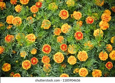 Marigold yellow flower plant spring summer garden on background top view