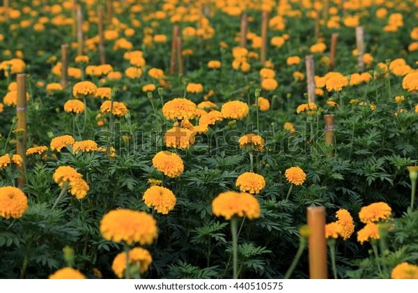Marigold - Yellow flowers