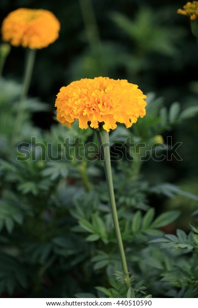Marigold - Yellow flowers