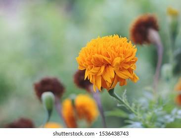 Marigold yellow flowers beautiful on nature
