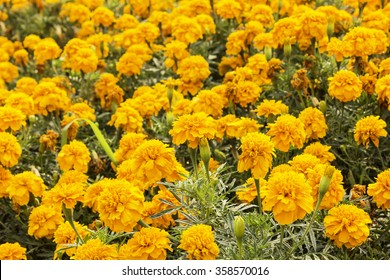 marigold yellow in the garden for design background.