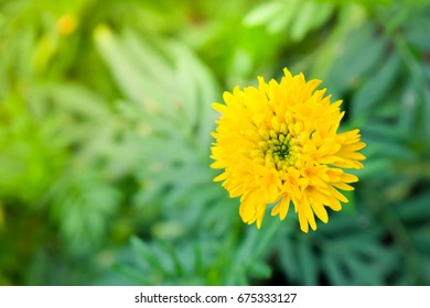 Marigold yellow in the garden Thailand.