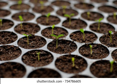Marigold young sprout in plastic seedling trays. Beginning stage of plant life.