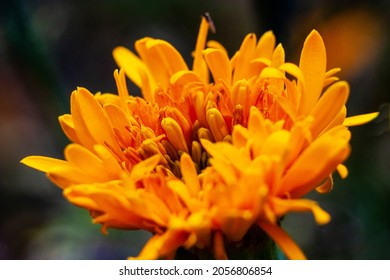Marigolds are beautiful autumn flowers. Marigolds complement the Golden Autumn range with their yellow color. It is an ornamental and medicinal plant.