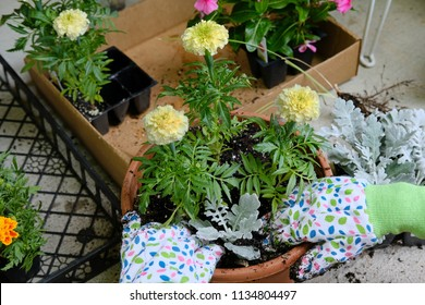 Marigolds being planted in a planter