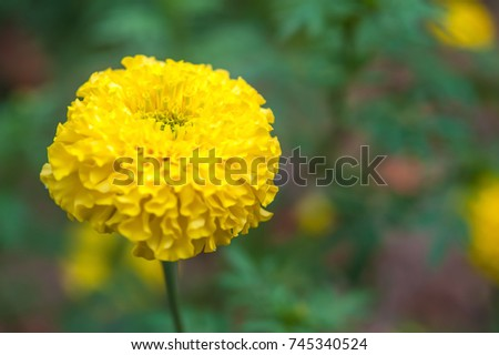 Marigolds big round yellow flowers stock photo edit now 745340524 marigolds big round yellow flowers mightylinksfo