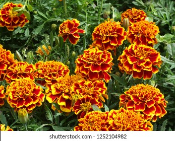 Marigolds Colossus. Close up large yellow and red flowers.