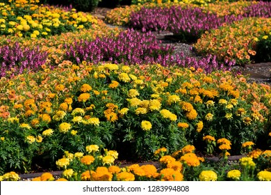 Marigolds Fall Flowers Planted in a Pattern
