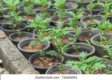 Marigolds in the garden.Marigold flower seedling