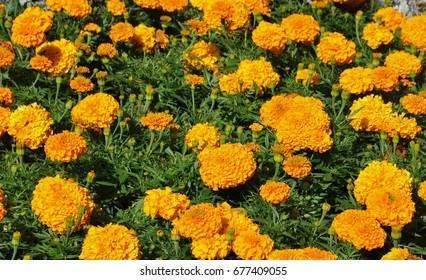 Marigolds grow in the summer garden.
