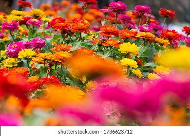 Marigolds and other northern ornamental flowers grow in flower beds in tropical countries: common zinnia (Zinnia elegans). Tropical winter aspect of floriculture. Thailand, Bangkok