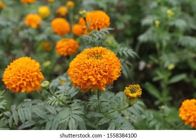 Marigolds propagated mainly by seeds. May use cuttings But the fruit that produces the flowers will get smaller