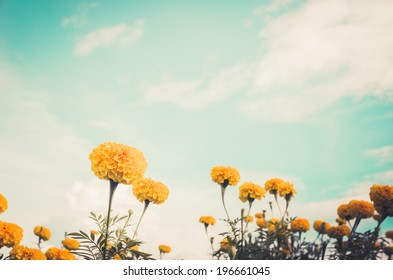 Marigolds or Tagetes erecta flower in the nature or garden vintage