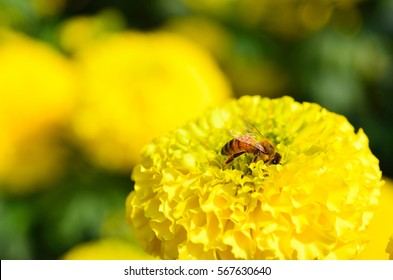 Marigolds (Tagetes erecta, Mexican marigold, Aztec marigold, African marigold) in garden