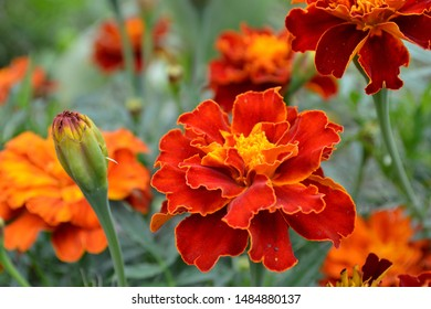 Marigolds (Tagetes) - genus of annual and perennial plants of the family Aster, or Asteraceae