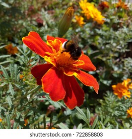 Marigolds are used in landscape design. They give insects nectar and pollen.