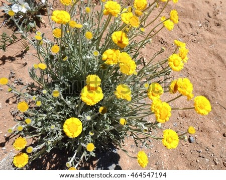 Marigold Yellow Desert Flowers Arizona Usa April Stock Photo Edit