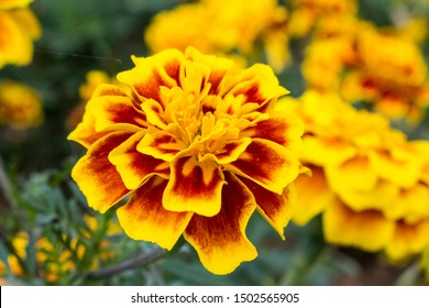 Marigold,yellow flower,Marigold tree,orange marigold,Marigold petals