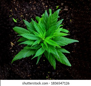 Mariguana Marihuana Cannabis
