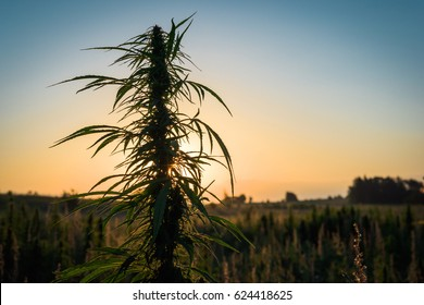 Marihuana plant on a background of sunset sky