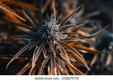 Marijuana is a beautiful medicinal cannabis bud plant