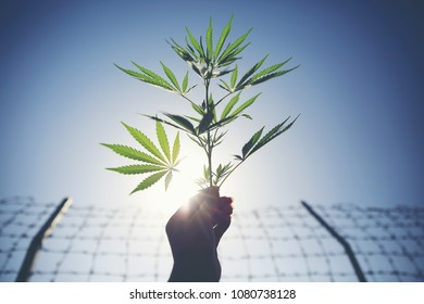Marijuana branch plantation on hand with barbed wires of prison background.
