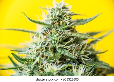 marijuana Bud cannabis plant with crystals of THC and CBD resins. On a yellow background medical weed