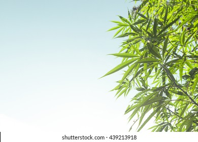 Marijuana Bud on Canopy of Indoor Cannabis Plants with Flat Vintage Style