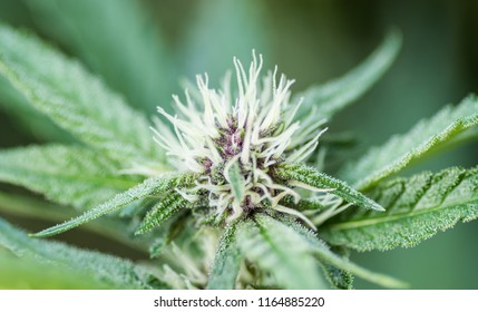 marijuana bud purple