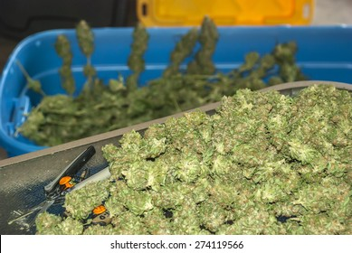 Marijuana Buds in a Pile being Trimmed