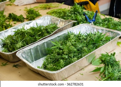 marijuana buds in tins. The buds are waiting to be trimmed by workers.