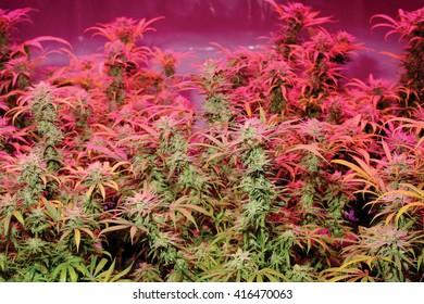 Marijuana Buds under LED Lights