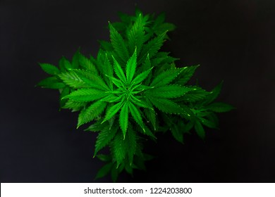 Marijuana business. Home Cannabis grow operation. Planting cannabis. Macro shot. Hemp flower Indoor growing. Grow legal Recreational Marijuana.