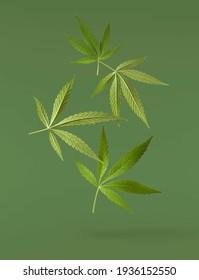 marijuana canabis leaf on field ganja farm sativa leaf weed medical hemp hash plantation cannabis legal or illegal drug leaves