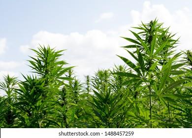 marijuana canabis on field ganja farm sativa leaf weed medical hemp hash plantation cannabis legal or illegal drug