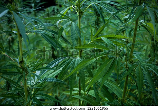 Marijuana / Canabis Plant; leaves, big plants are growing