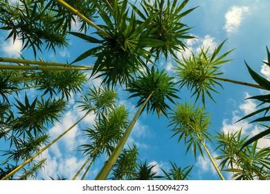 Marijuana - Cannabis Field - Wide Angle Bottom View with Blue Sky